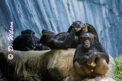 Chimpanzees - Boyz 'n the Hood