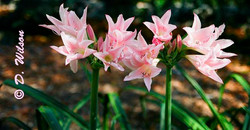 Pink Lilly Flowers