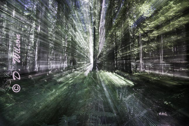 Redwoods, Ca - Going into the Light
