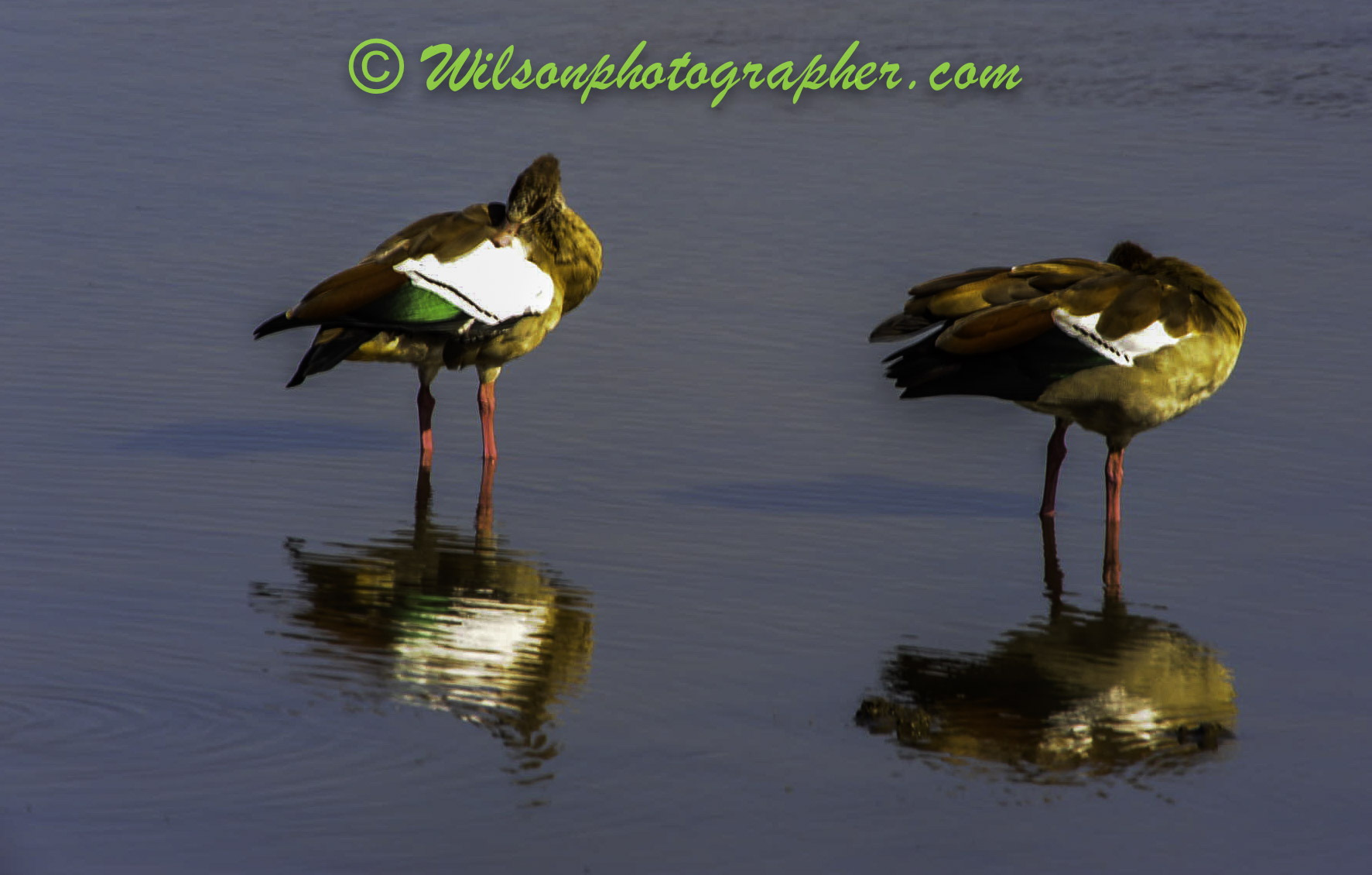 Ducks, Africia