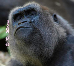 Gorilla - Give me a Kiss