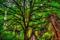 Sitka Spruce Tree -Trillium Falls,Ca