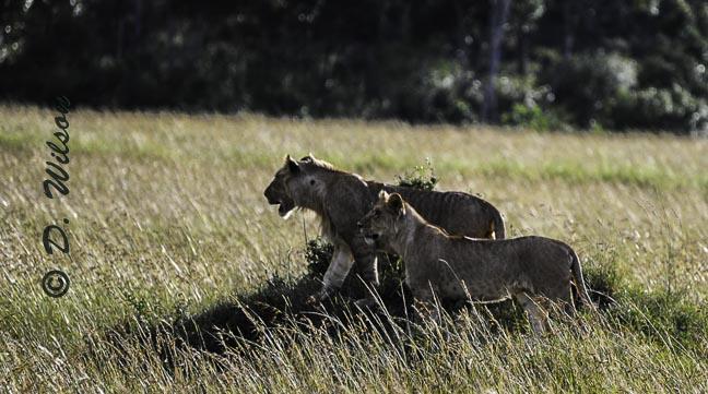 Watching Over The Pride,Kenya Africa