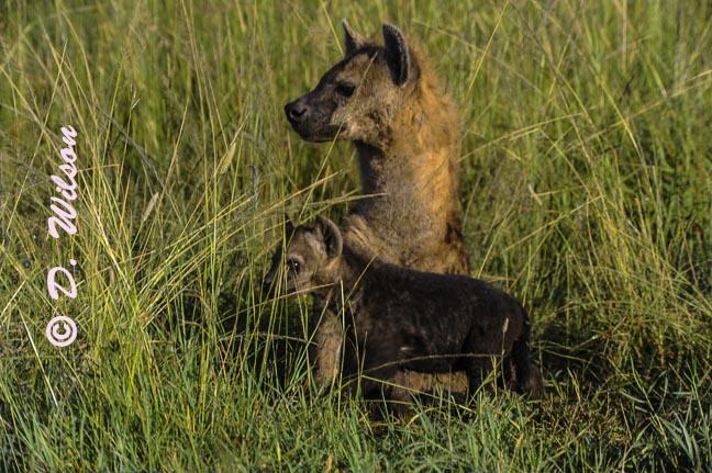 Mama and Baby Hyena - Kenya, Africa