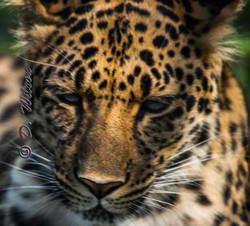 Raina (Amur Leopard)