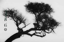 Lion Silhouettes in Tree - Kenya