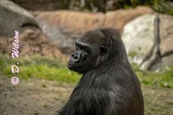 Gorilla - Don't Look at Me