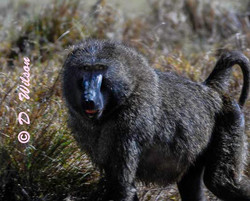 Baboon, Kenya Africa