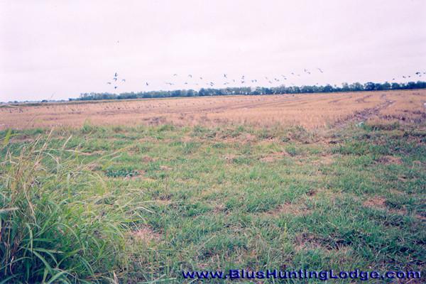Geese-01.jpg