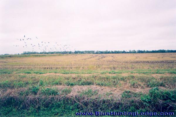 Geese-02.jpg