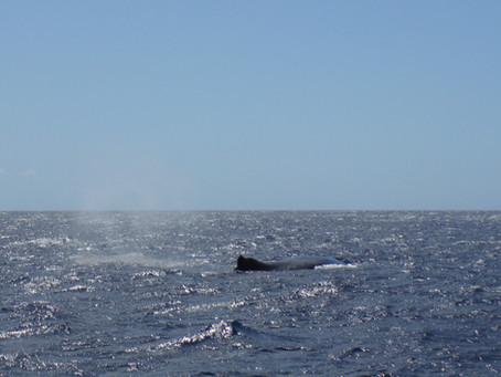 Migration des Baleines