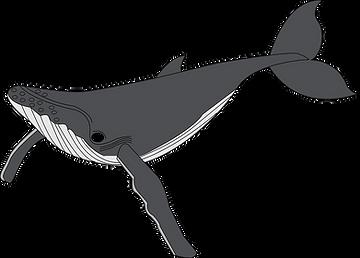 Balein à bosse