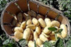Pomme-de-terre-nouvelle