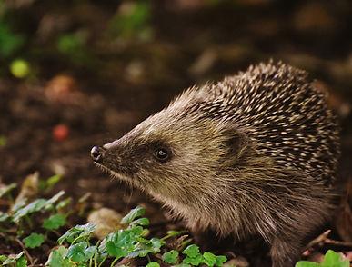 hedgehog-child-1696328_1920.jpg