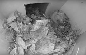 Egel laat typisch egelgedrag zien voor webcam: speekselen. De egel smeert zijn speeksel uit over zijn stekels. Een nieuwe geur of smaak kan dit gedrag triggeren. Waarom egels dit doen is nog onduidelijk. (foto: BuitenGewoon)