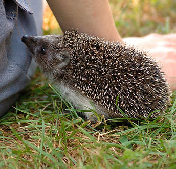 hedgehog-253666_1920.jpg