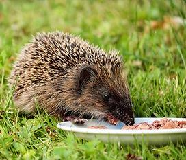 hedgehog-1581807_1920.jpg