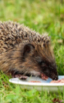 hedgehog-1581807_1920.jpg
