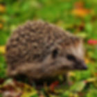 hedgehog-child-1759006_1920.jpg