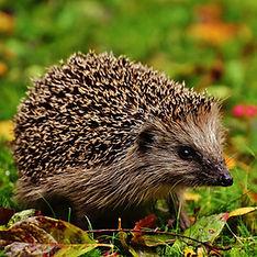hedgehog-child-1759006_1920.jpg