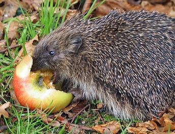 hedeghog_feeding_on_apple.jpg