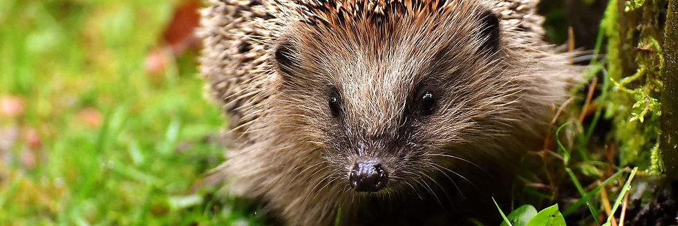 hedgehog-child-3070175_1920.jpg