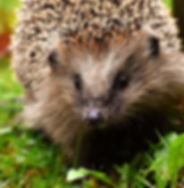 hedgehog-child-3070175_1920.jpg