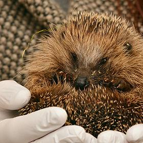 hedgehog-2074143_1920.jpg