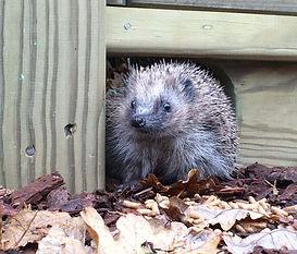 Hedgehog Using Jacksons Fencing Hedgehog