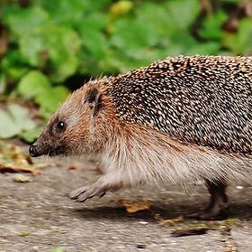 hedgehog-1644129_1920.jpg