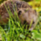 hedgehog-child-1696260_1920.jpg