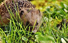 hedgehog-child-1696260_1920.jpg