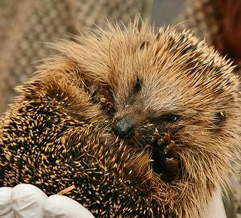 hedgehog-2074144_1920.jpg