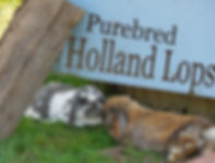 Broken Steel and Tort purebred Holland Lops