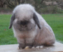 Sable Point Holland Lop Buck At Little Pastures
