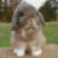 Booted Chestnut Agouti Holland Lop Doe at Little Pastures