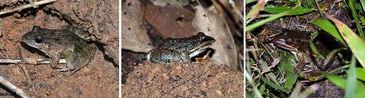 Leptodactylus mystacinus DSC_0231.JPG