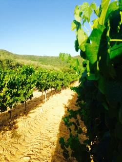 Les vignes baignées de soleil