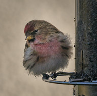 'Common Redpoll' by Andrew Cameron-Mitchell