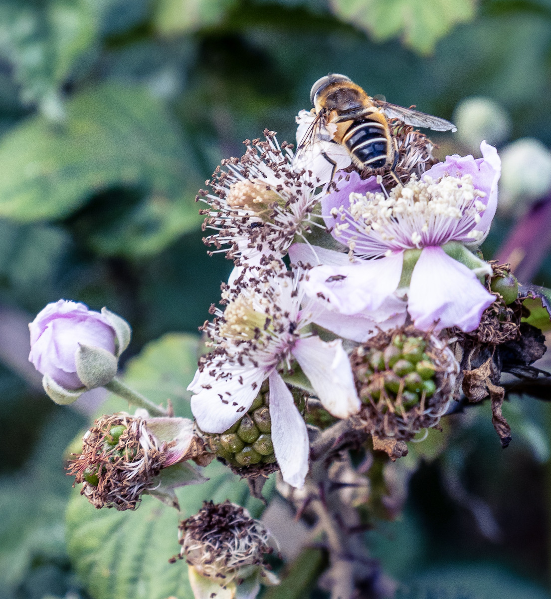'Blackberry Thief' by Clare Carter (8 marks)  -  Fairhead Photographic Club