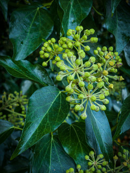 'Hedera helix' by Andrew Cameron-Mitchell