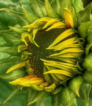 'Sunflower Bud' by Marie Brennan ( 12 marks )