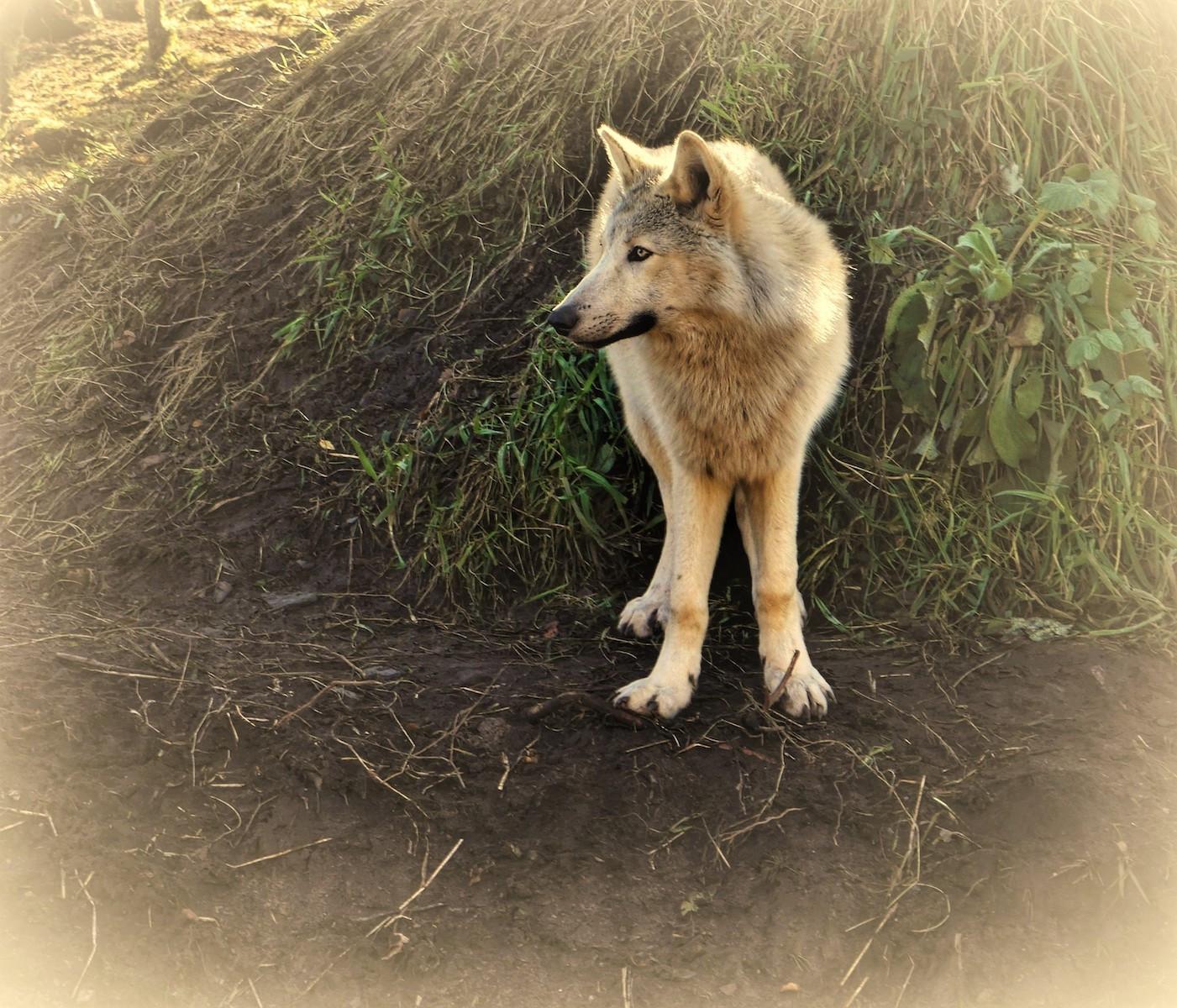 'Lone Wolf' by Marie Brennan (7 marks)  -  Fairhead Photographic Club