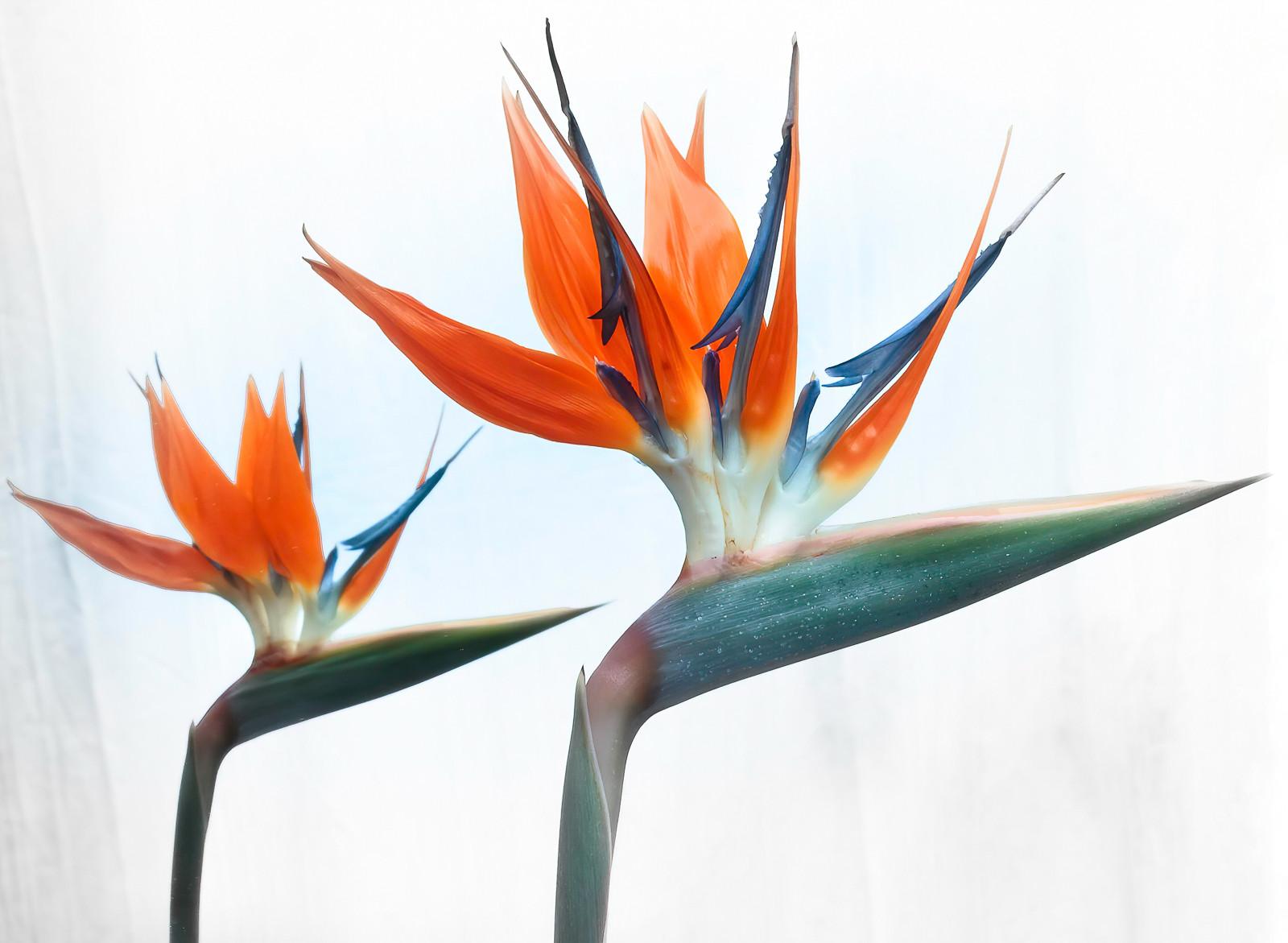 'Mirror Strelitzia' by Sue McBean (10 marks)  -  Fairhead Photographic Club