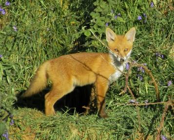 'Cunning Mr. Fox' by Nicola McDermott ( 8 marks )
