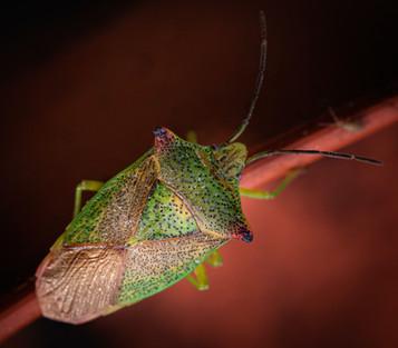 'Hawthorn Shield Bug' by Sue McBean ( 10 marks )