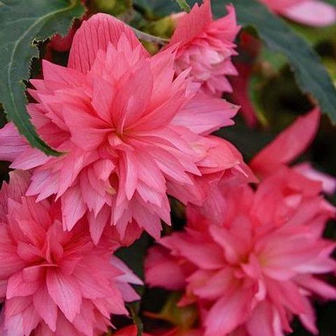 Begonia - Funky Pink - Filler/Spiller
