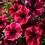 Thumbnail: Petunia - Sweetunia Suzie Storm - FILLER/SPILLER!