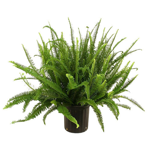 6-inch Kimberly Queen Fern