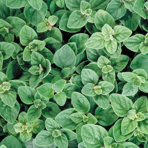 Oregano - Italian - Herb